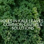 Holes In Kale Leaves - Common Causes & Solutions