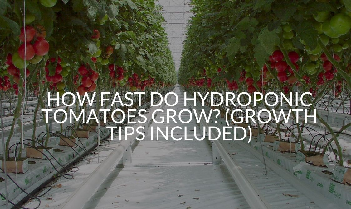 How Fast Do Hydroponic Tomatoes Grow_ (Growth Tips Included)