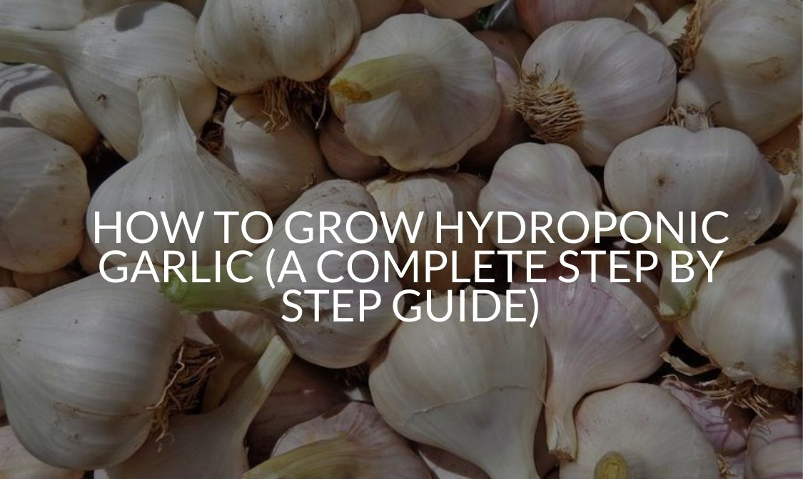 How To Grow Hydroponic Garlic (A Complete Step By Step Guide)