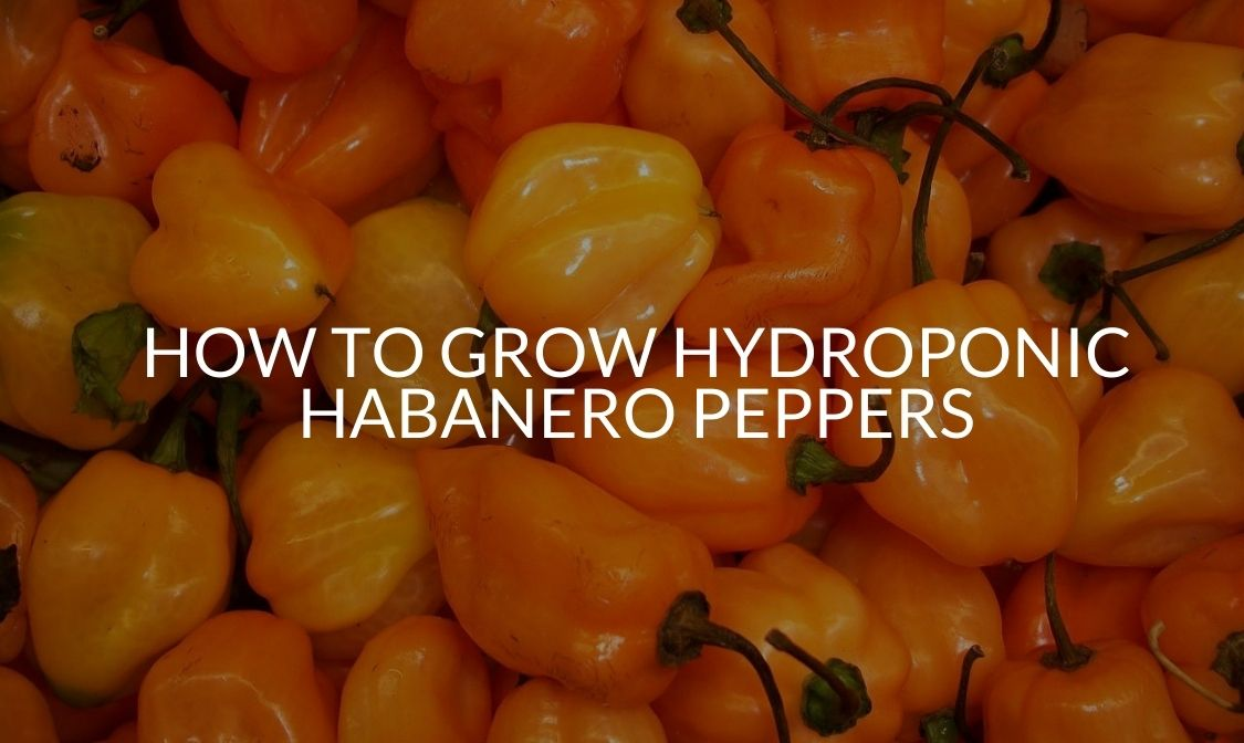 How To Grow Hydroponic Habanero Peppers