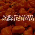 When To Harvest Habanero Peppers (4 Signs Of Ripeness)