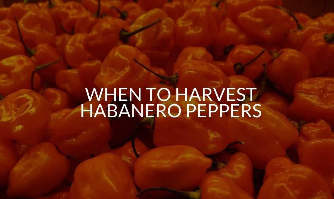 When To Harvest Habanero Peppers