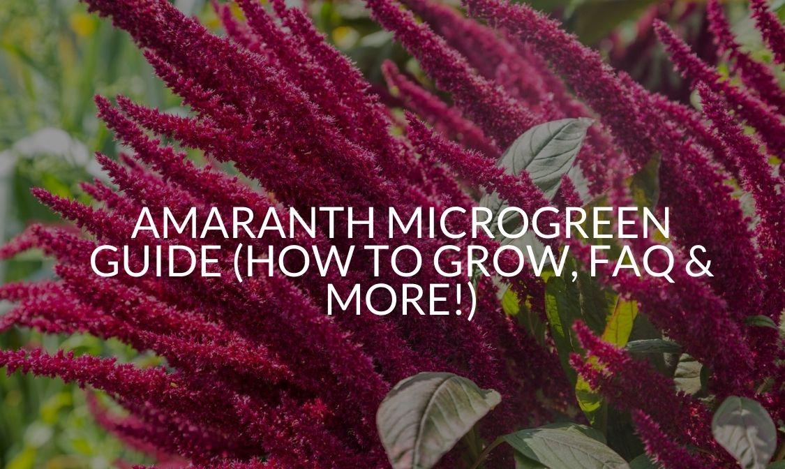 Amaranth Microgreen Guide (How To Grow, FAQ & More!)