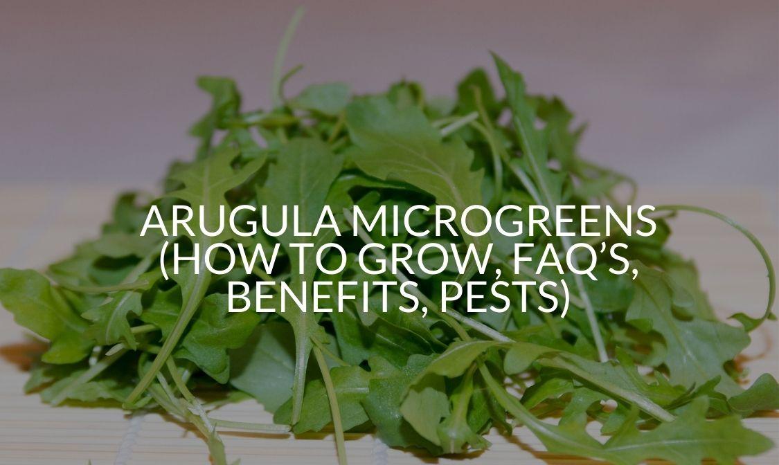 Arugula Microgreens (How To Grow, FAQ's, Benefits, Pests)