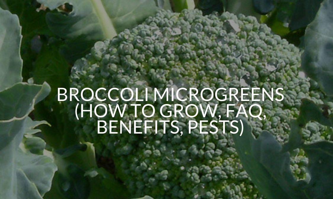 Broccoli Microgreens (How To Grow, FAQ, Benefits, Pests)