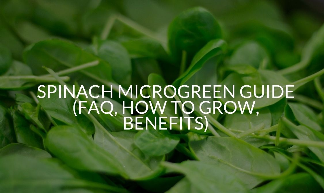 Spinach Microgreen Guide (FAQ, How To Grow, Benefits)