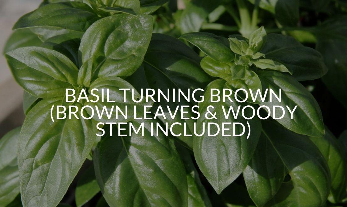 Basil Turning Brown (Brown Leaves & Woody Stem Included)
