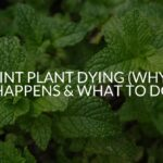 Mint Plant Dying (Why It Happens & What To Do)