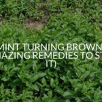 Mint Turning Brown? (Amazing Remedies To Stop It)