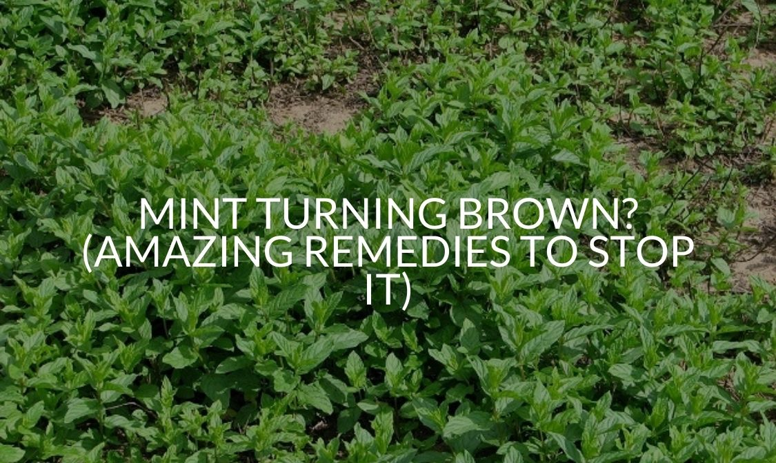 Mint Turning Brown_ (Amazing Remedies To Stop It)