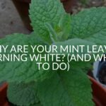 Why Are Your Mint Leaves Turning White? (And What To Do)