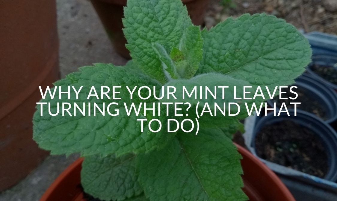 Why Are Your Mint Leaves Turning White_ (And What To Do)