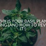 Why Is Your Basil Plant Dying (And How To Revive It!)