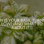 Why Is Your Basil Turning Yellow? (And What To Do About It!)