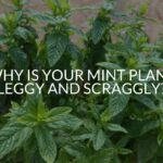 Why Is Your Mint Plant Leggy And Scraggly? (And What To Do)