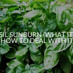 Basil Sunburn (What It Is & How To Deal With It)