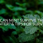 Can Mint Survive The Winter? & Tips For Survival