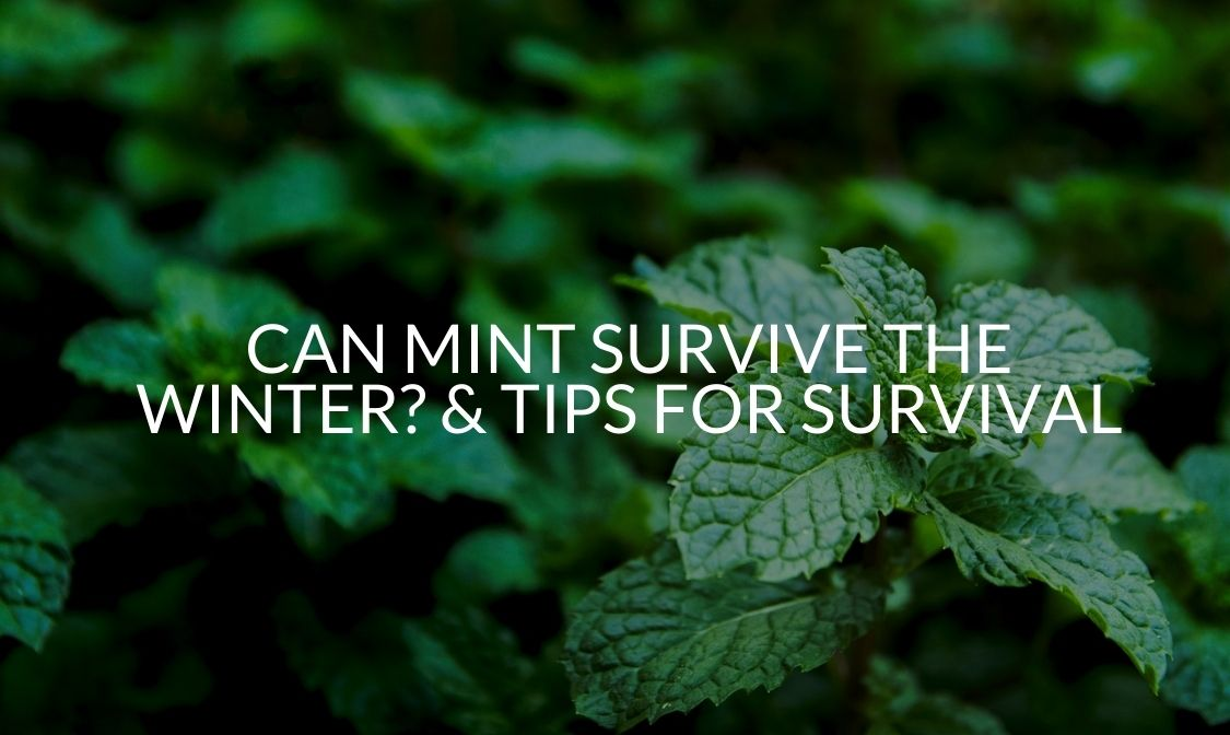 Can Mint Survive The Winter_ & Tips For Survival