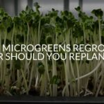 Do Microgreens Regrow? (Or Should You Replant?)