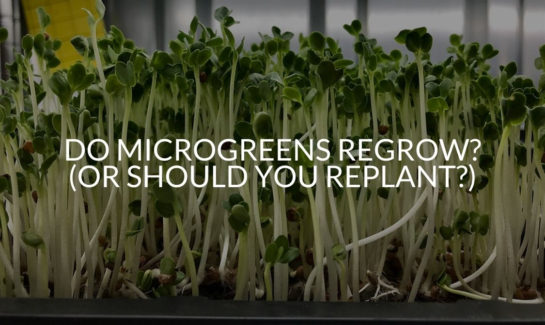 Do Microgreens Regrow_ (Or Should You Replant_)