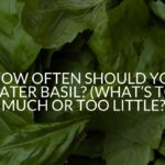 How Often Should You Water Basil? (What's Too Much Or Too Little?)