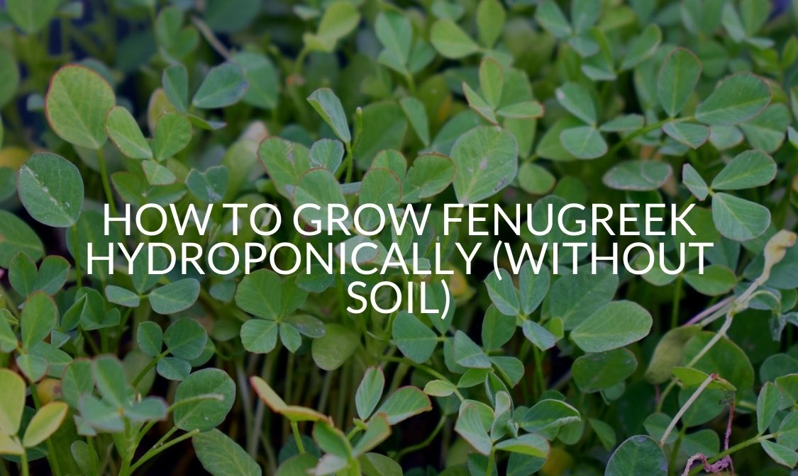 How To Grow Fenugreek Hydroponically (Without Soil)