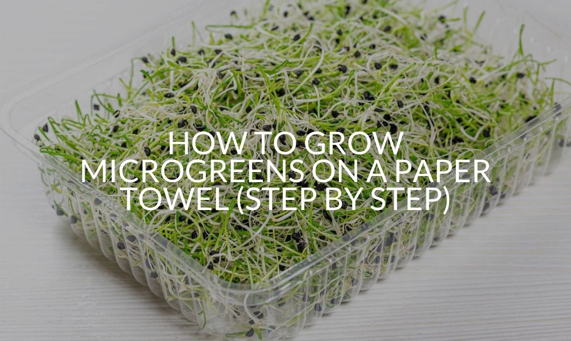 How To Grow Microgreens On A Paper Towel (Step By Step)