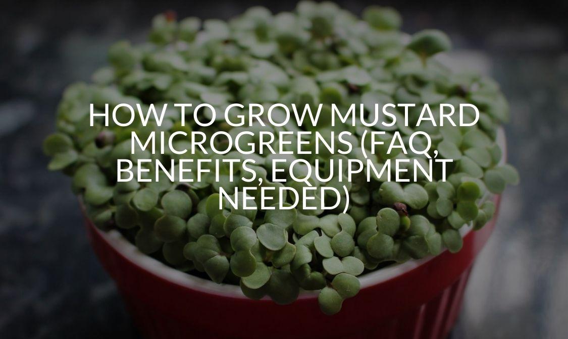 How To Grow Mustard Microgreens (FAQ, Benefits, Equipment Needed)