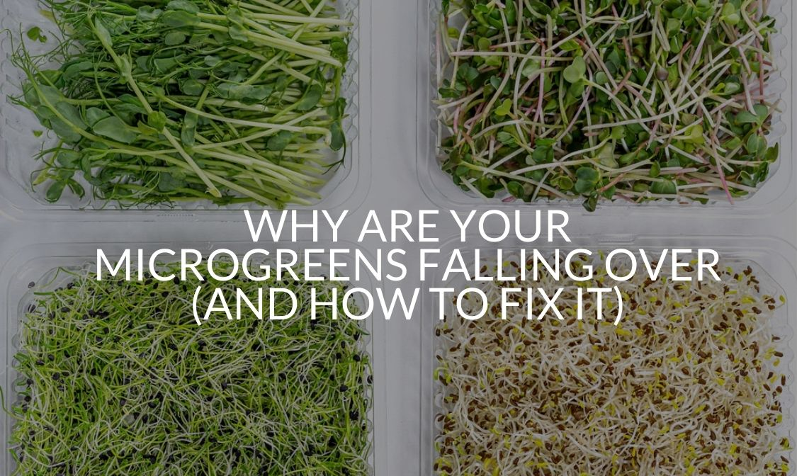 Why Are Your Microgreens Falling Over (And How To Fix It)