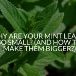 Why Are Your Mint Leaves So Small? (And How To Make Them Bigger?)
