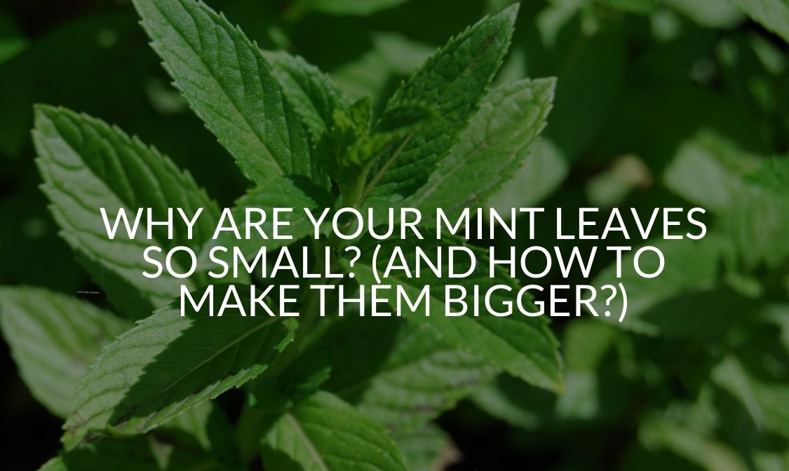 Why Are Your Mint Leaves So Small_ (And How To Make Them Bigger_)