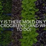 Why Is There Mold On Your Microgreens? (And What To Do)