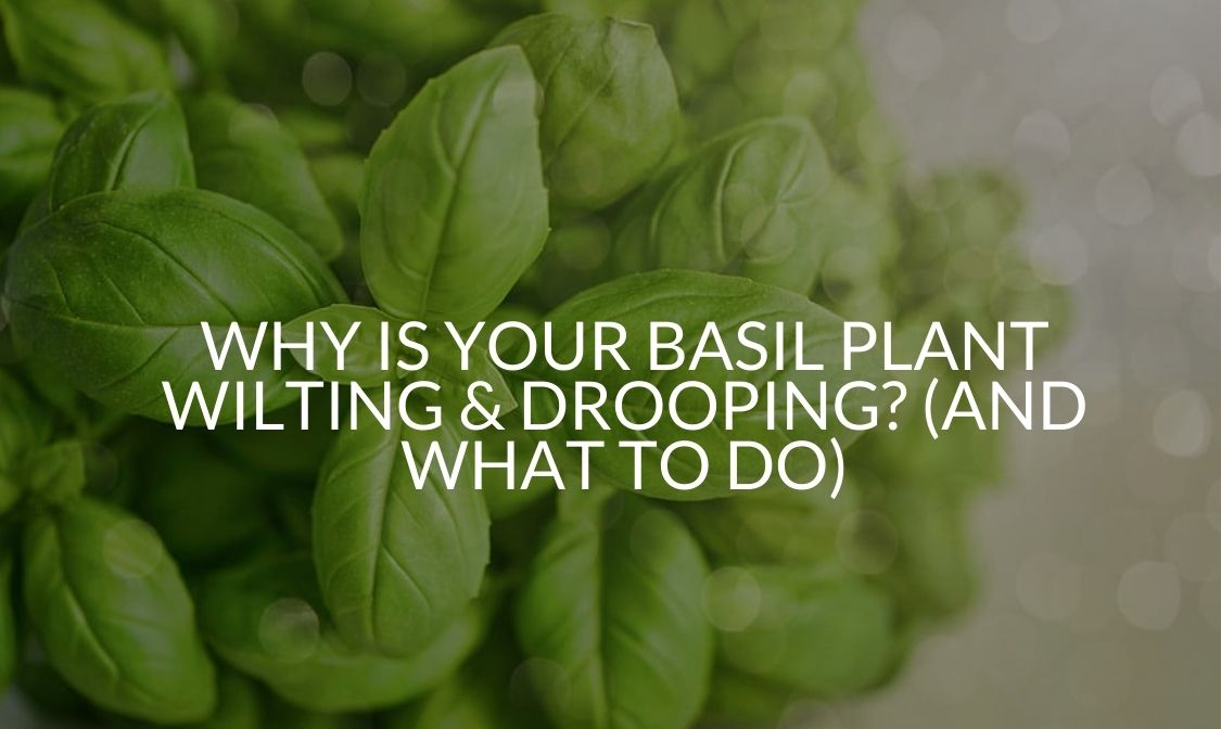 Why Is Your Basil Plant Wilting & Drooping_ (And What To Do)