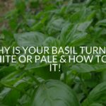 Why Is Your Basil Turning White Or Pale & How To Fix It!