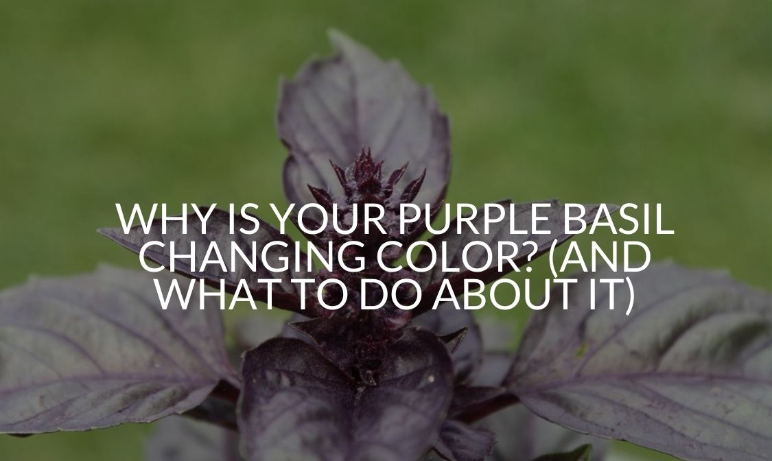 Why Is Your Purple Basil Changing Color_ (And What To Do About It)