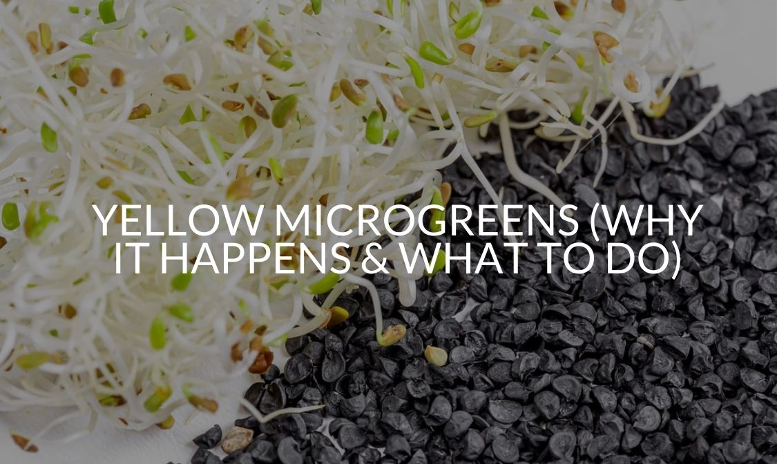 Yellow Microgreens (Why It Happens & What To Do)