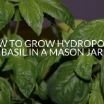 How To Grow Hydroponic Basil In A Mason Jar (Step By Step)