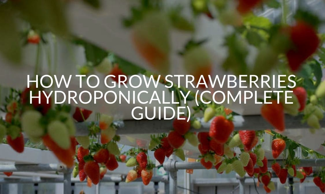 How To Grow Strawberries Hydroponically (COMPLETE GUIDE)