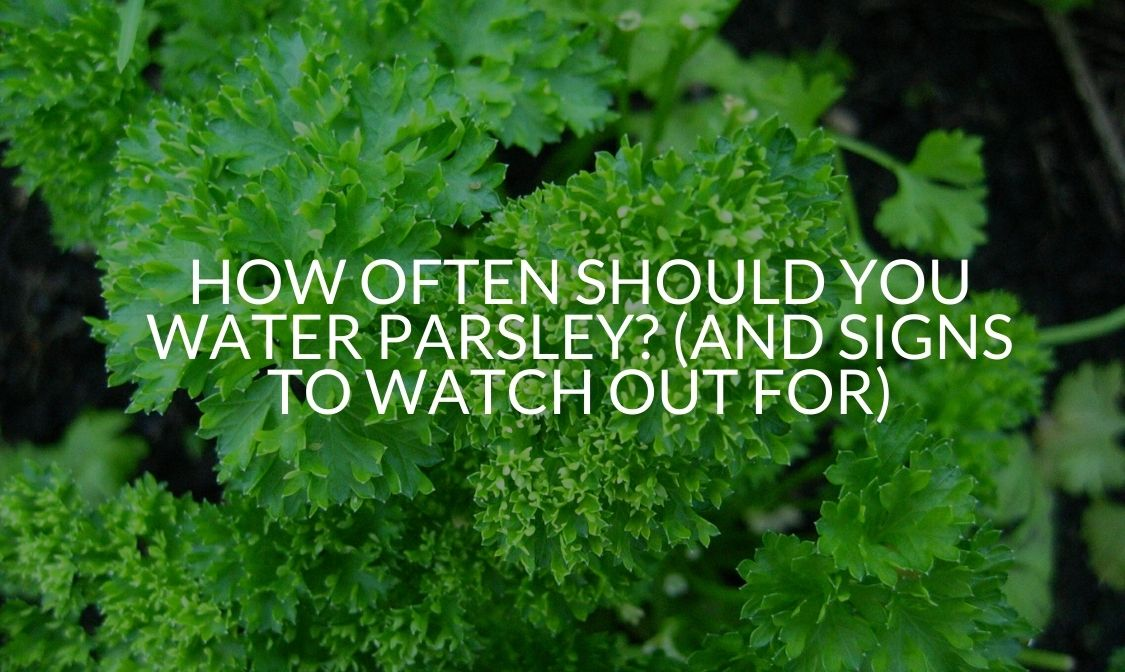 How Often Should You Water Parsley (And Signs To Watch Out For)