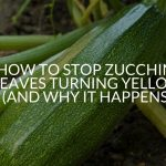 How To Stop Zucchini Leaves Turning Yellow (And Why It Happens)