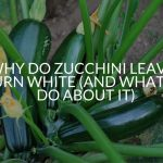 Why Do Zucchini Leaves Turn White (And What To Do About It)