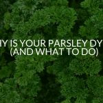 Why Is Your Parsley Dying? (And What To Do)