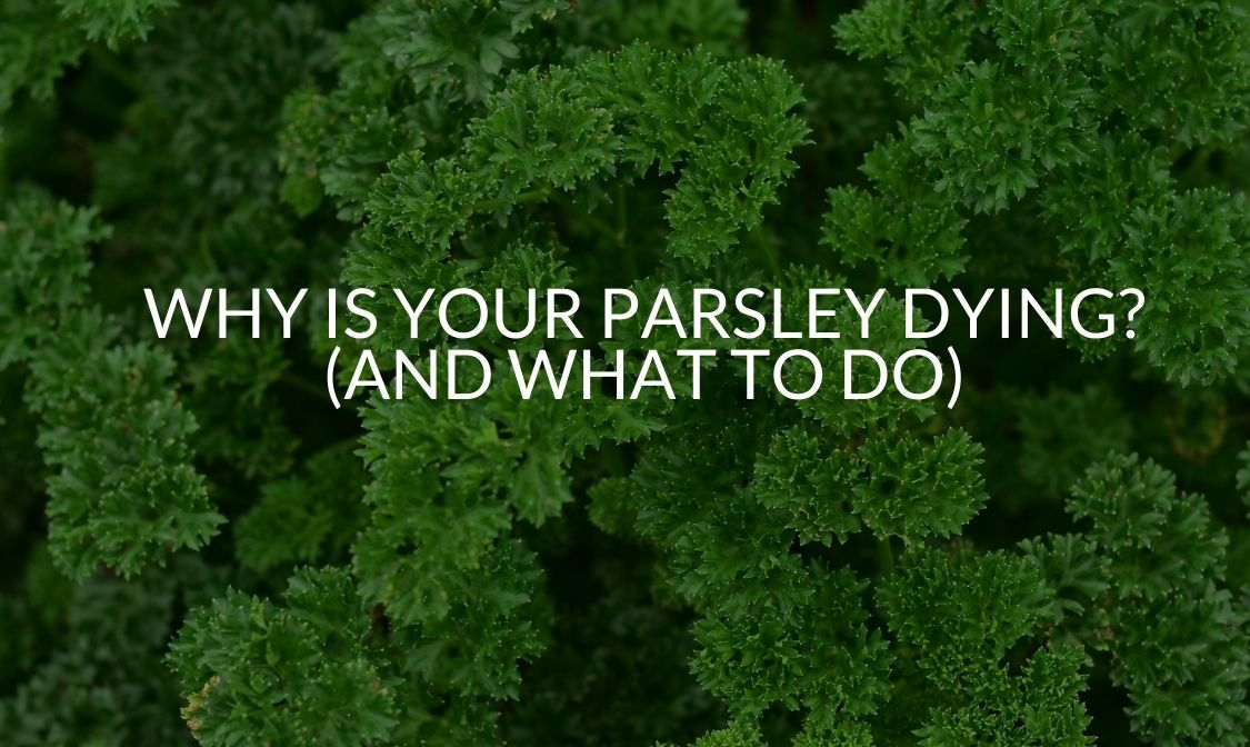 Why Is Your Parsley Dying (And What To Do)