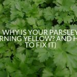 Why Is Your Parsley Turning Yellow? And How To Fix It)