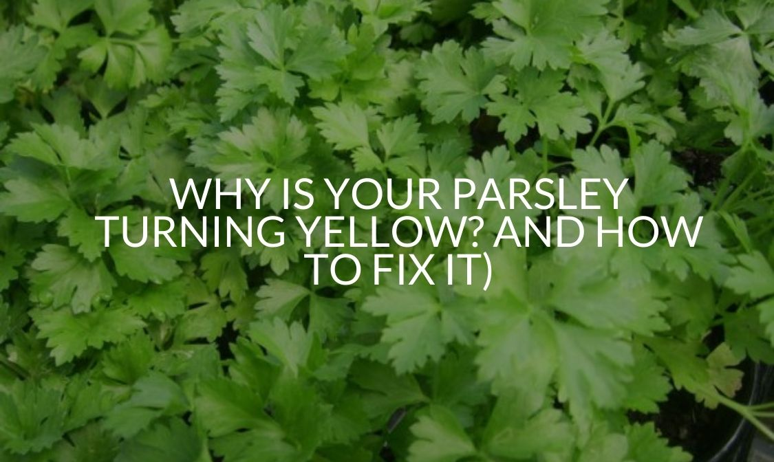 Why Is Your Parsley Turning Yellow And How To Fix It)