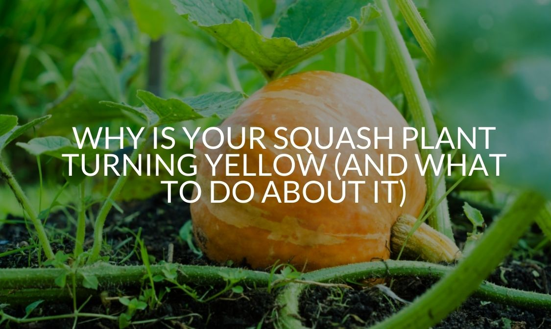 Why Is Your Squash Plant Turning Yellow (And What To Do About It)