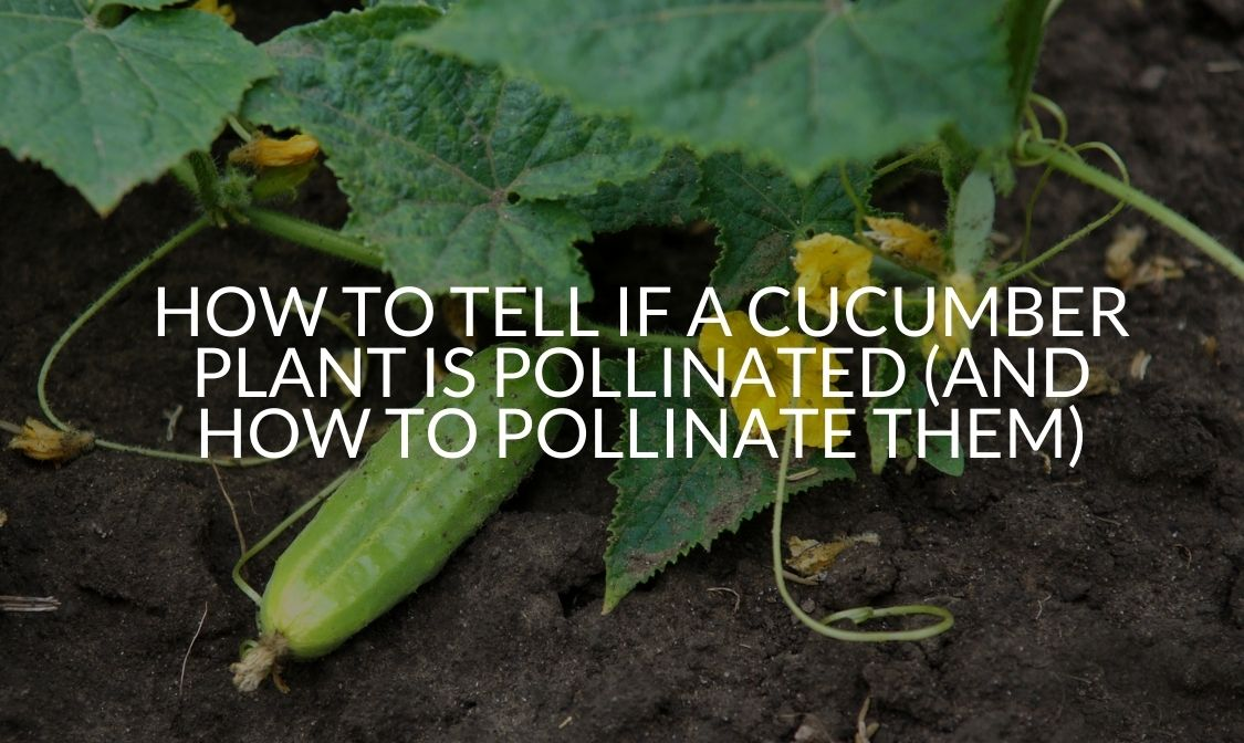How To Tell If A Cucumber Plant Is Pollinated (And How To Pollinate Them)