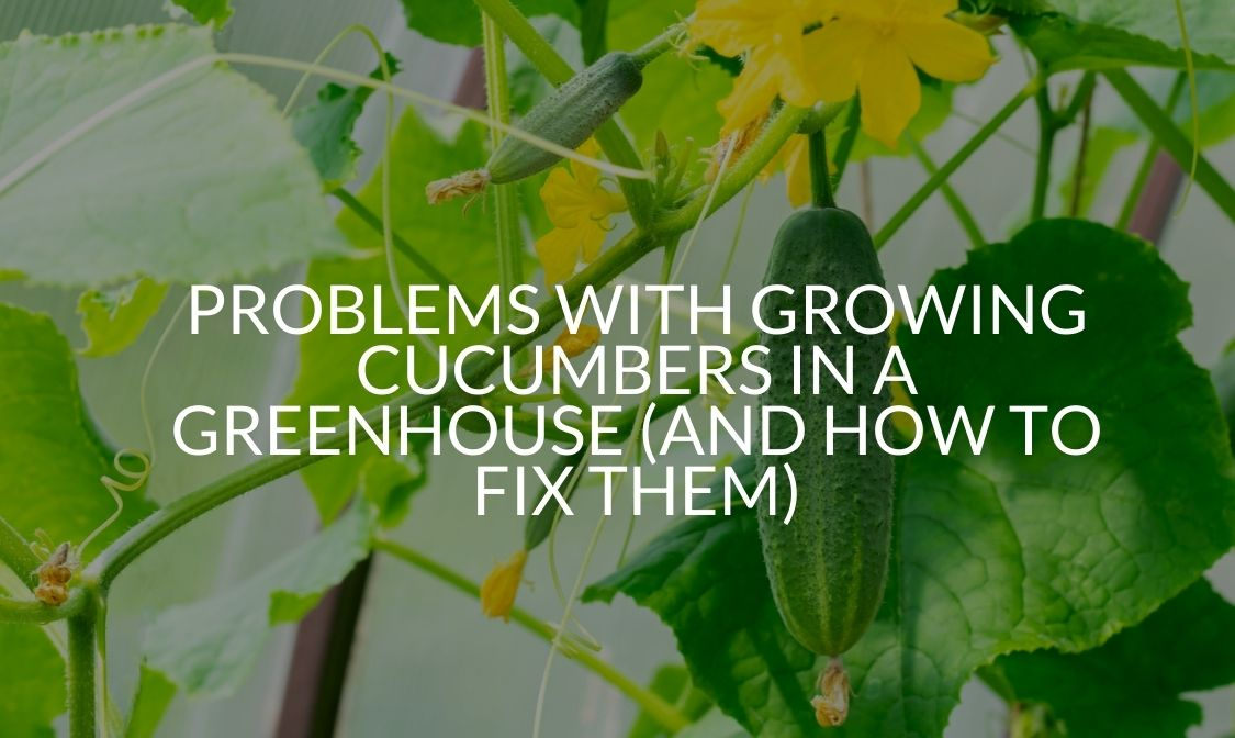 Problems With Growing Cucumbers In A Greenhouse (And How To Fix Them)