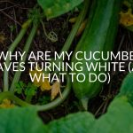 Why Are My Cucumber Leaves Turning White (And What To Do)