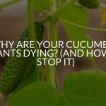 Why Are Your Cucumber Plants Dying? (And How To Stop It)